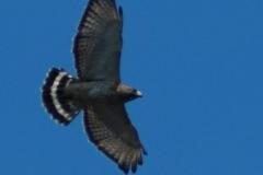 Aigle au Tawanipi